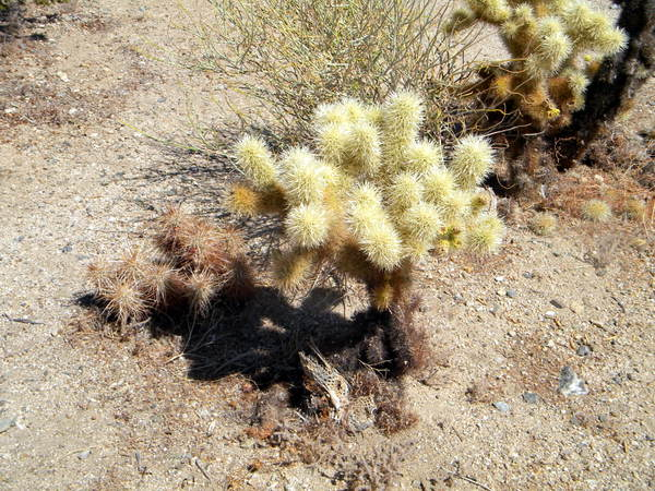 Teddy Bear Cholla Tree