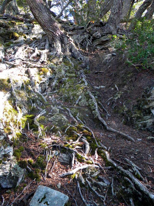 Arbres à racines apparentes