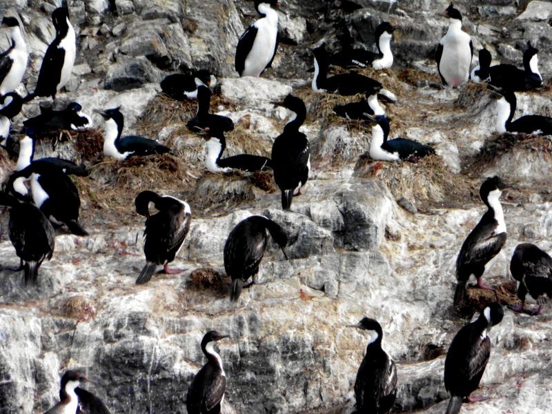 Cormorans sur leurs nids
