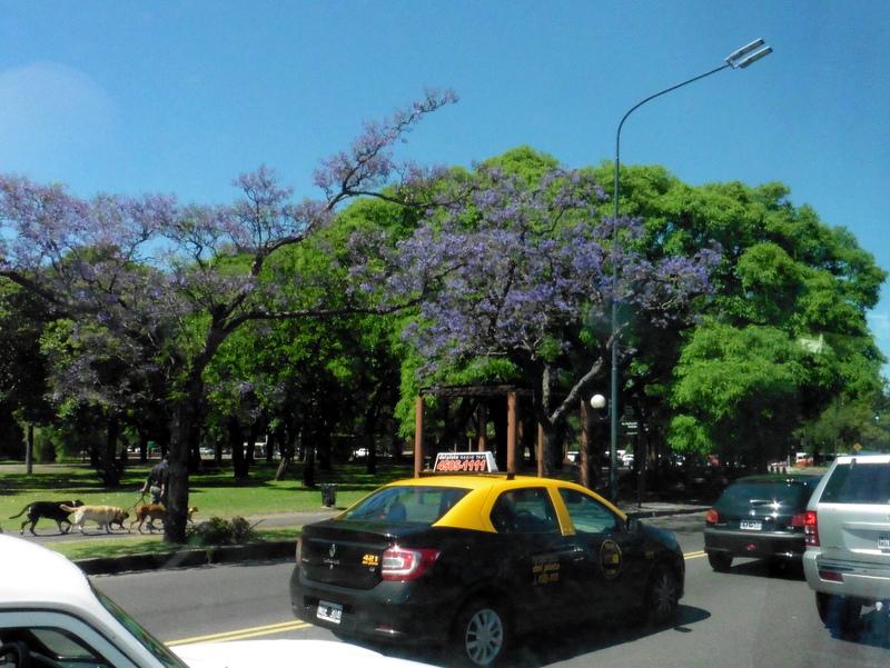 Taxis, jacarandas et promeneurs de chiens