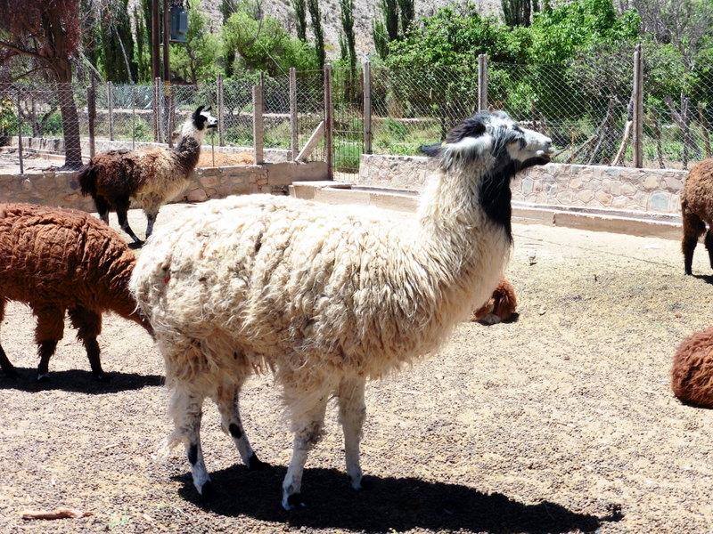 Troupeau de lamas domestiques