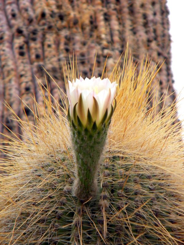 Fleur de cactus-candélabre
