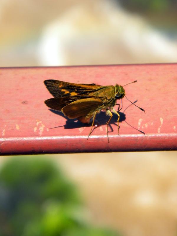 Papillon brun
