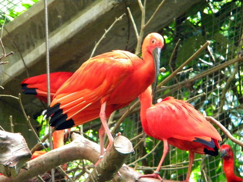 Couple d'ibis rouges