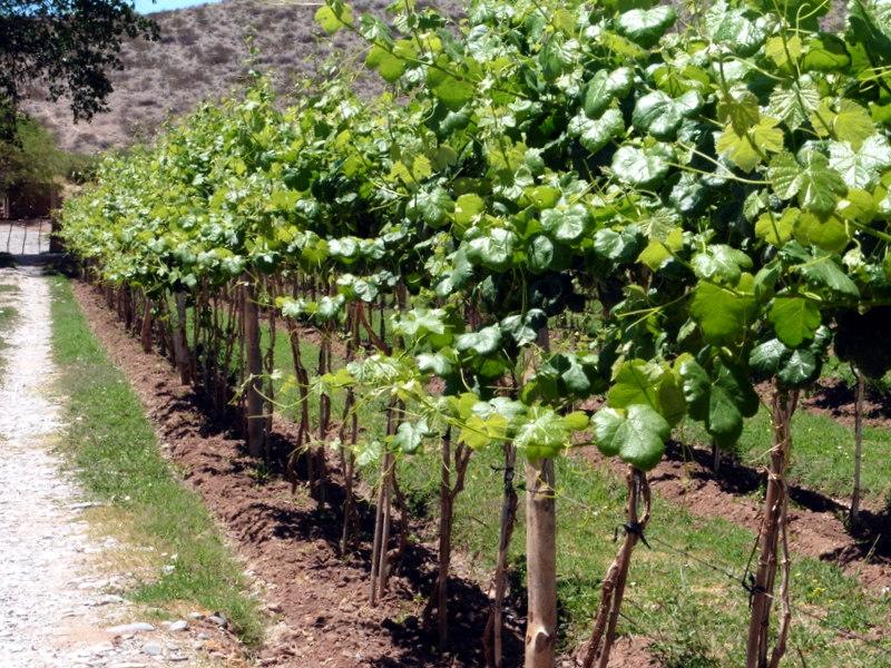Le vignoble de Payogasta