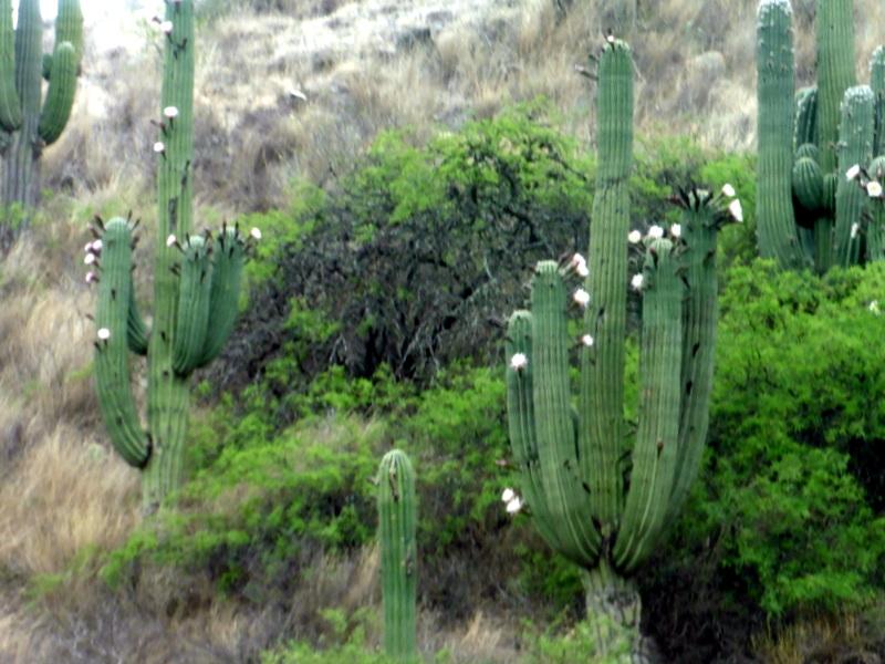 Cactus-candélabres