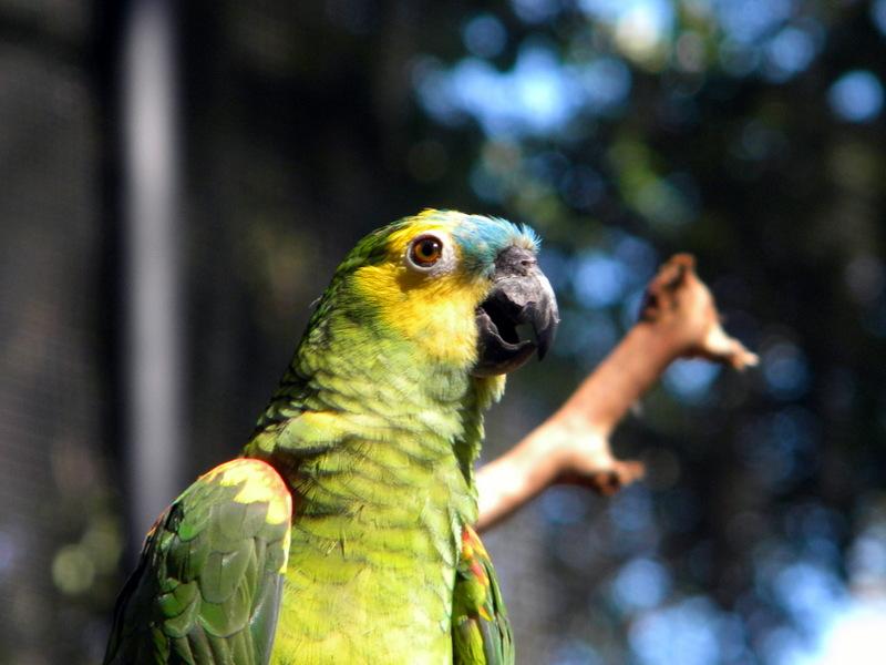 Perroquet-7