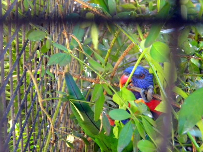 Perroquet timide