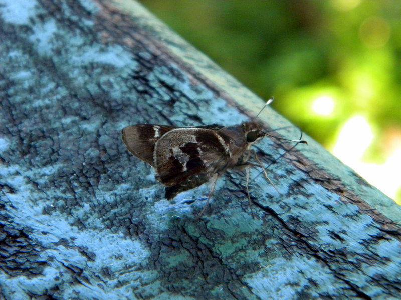 Papillon-3
