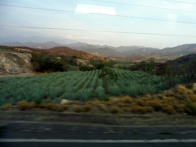 Champ de cactus
