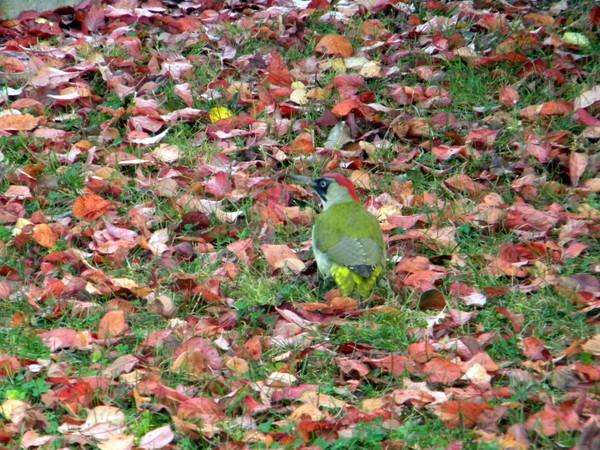 Pivert parmi les feuilles mortes