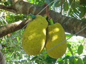La ronde des fruits, Vietnam