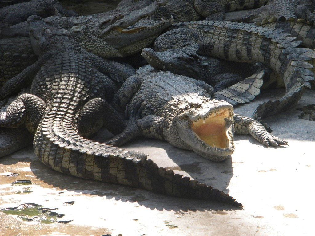 Crocodiles en sacs, Vietnam