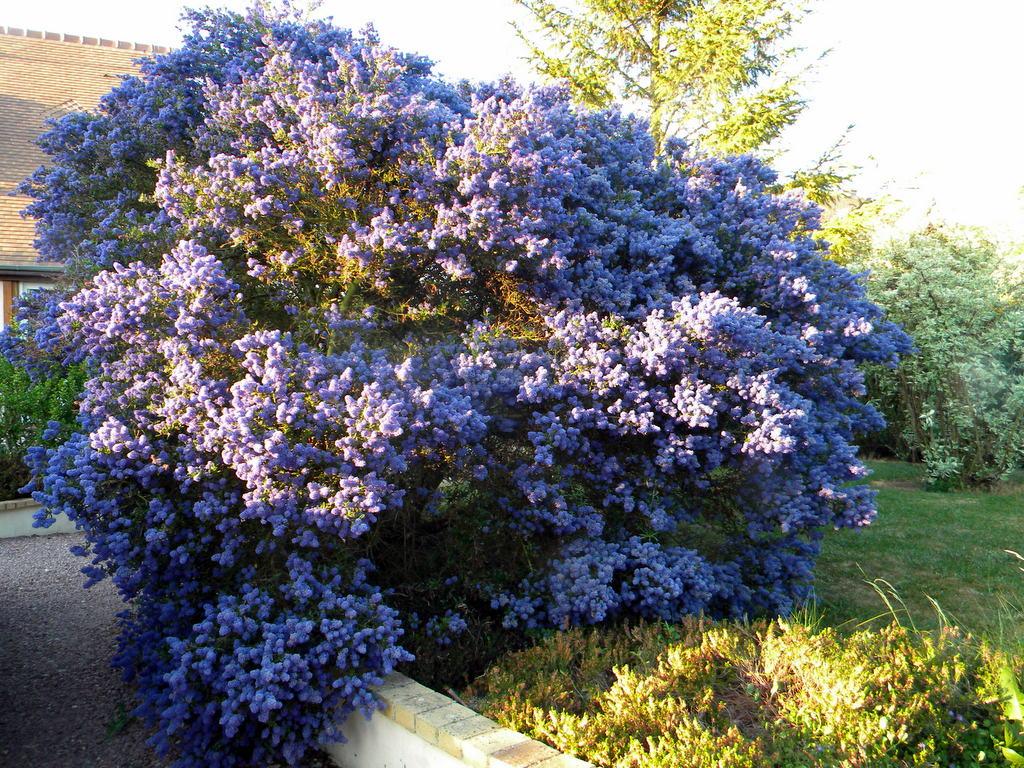 Le céanothe bleu, gloire de mon jardin