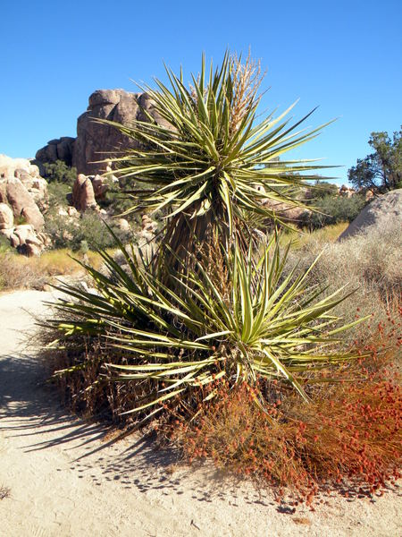 Une agave