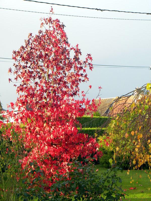 Liquidambar en automne