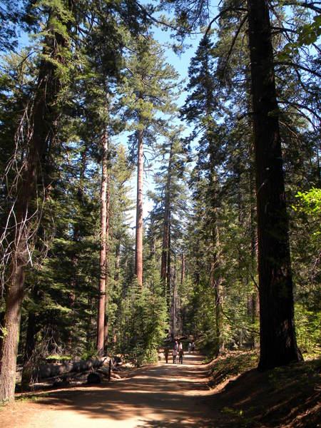 Belle forêt de conifères