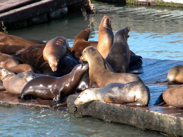 Lions de mer à Pier 19