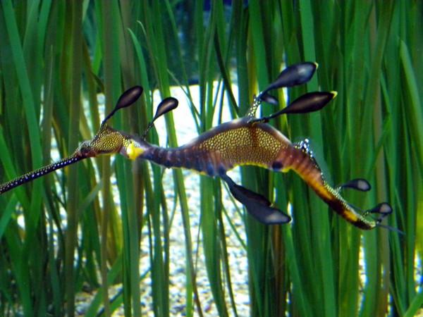L'hippocampe bleu à points dorés