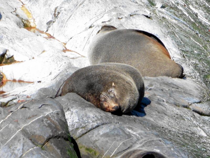 Lions de mer endormis