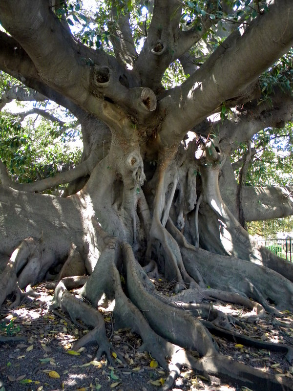 Le tronc du gomero de la Recoleta