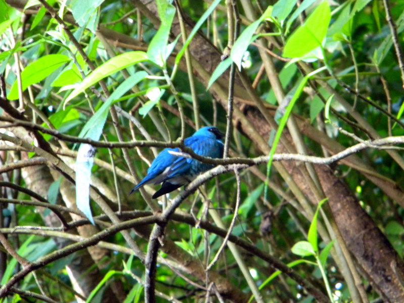 Petit passereau bleu