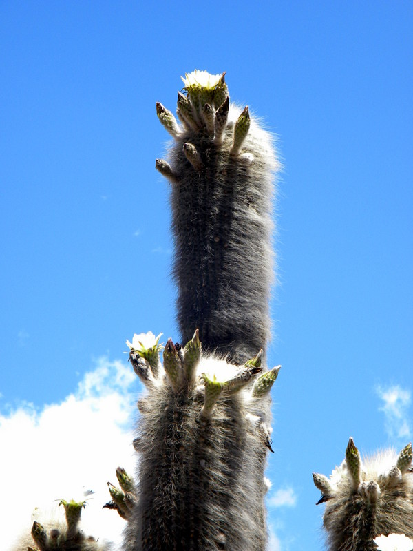 Cactus en fleur