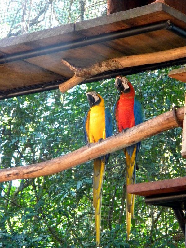 Perroquets-2