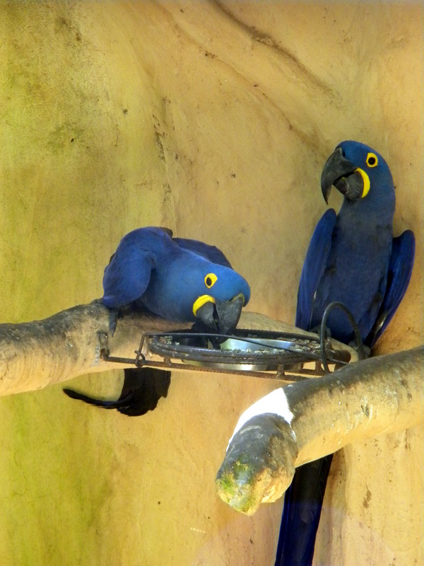 Perroquets bleus-3