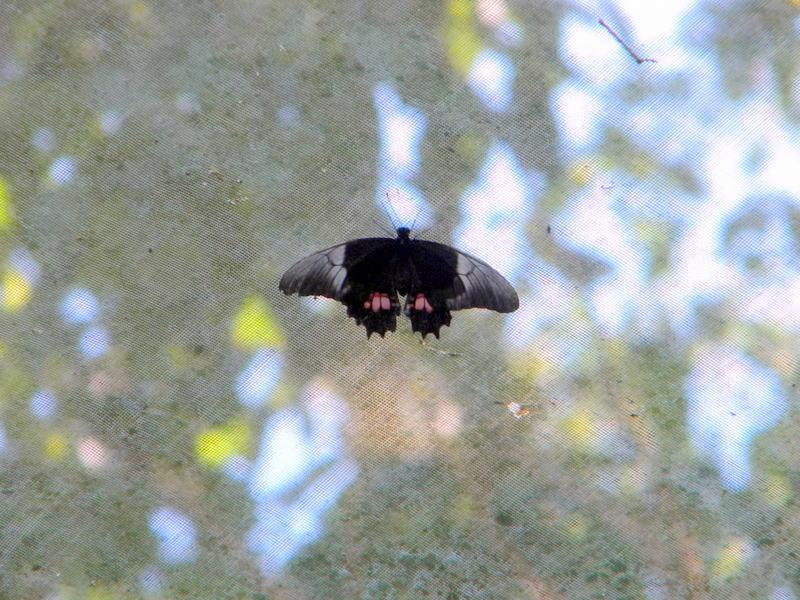 Papillon-4
