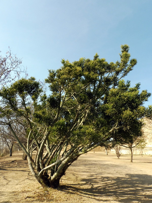 Végétation sur le Monte Alban