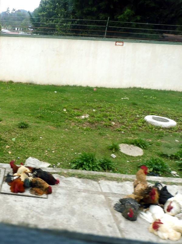 Poulets à vendre