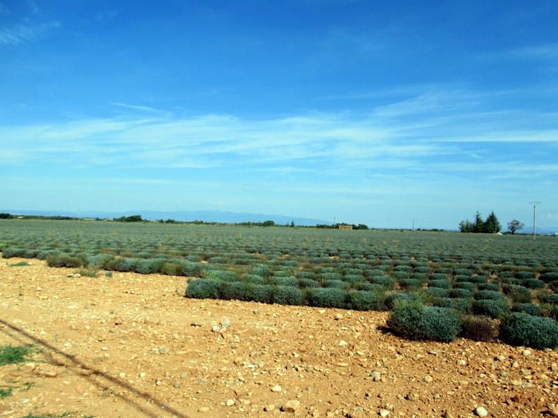 Valensole, champs de lavande