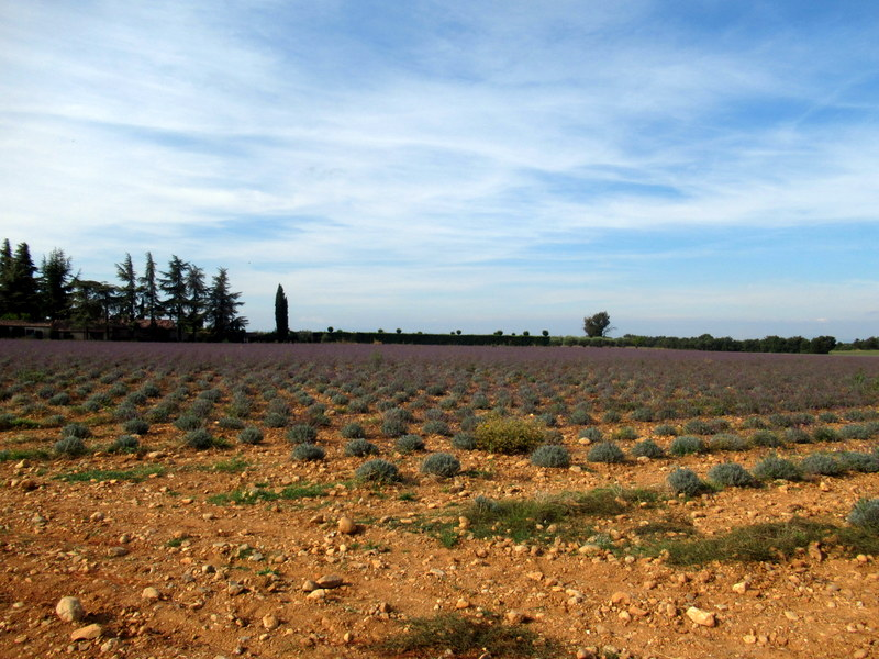 Forcalquier, champs de lavande